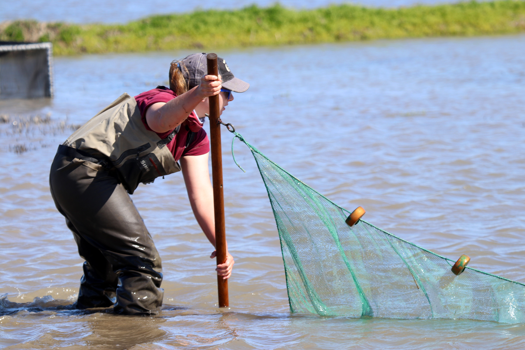 Alexandra Wampler (UC Davis) performing seining efforts to gather the baby salmon.