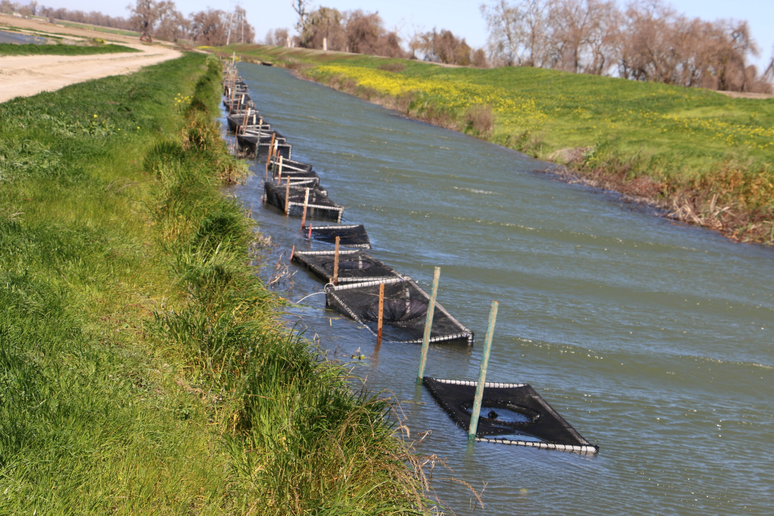 The caged salmon that were moved to a canal awaiting JSAT tagging after their growth in rice fields at River Garden Farms.